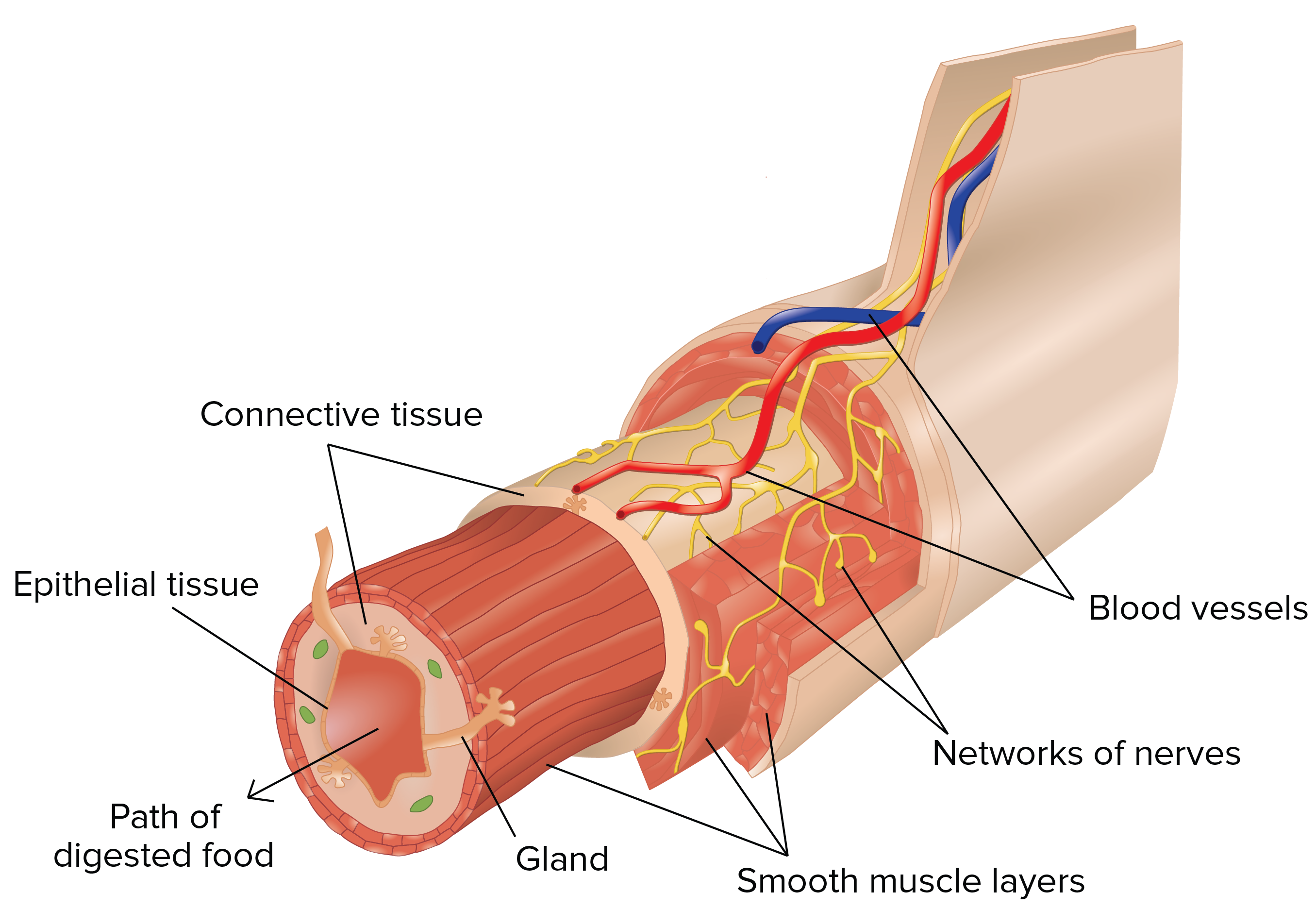 an example of connective tissue