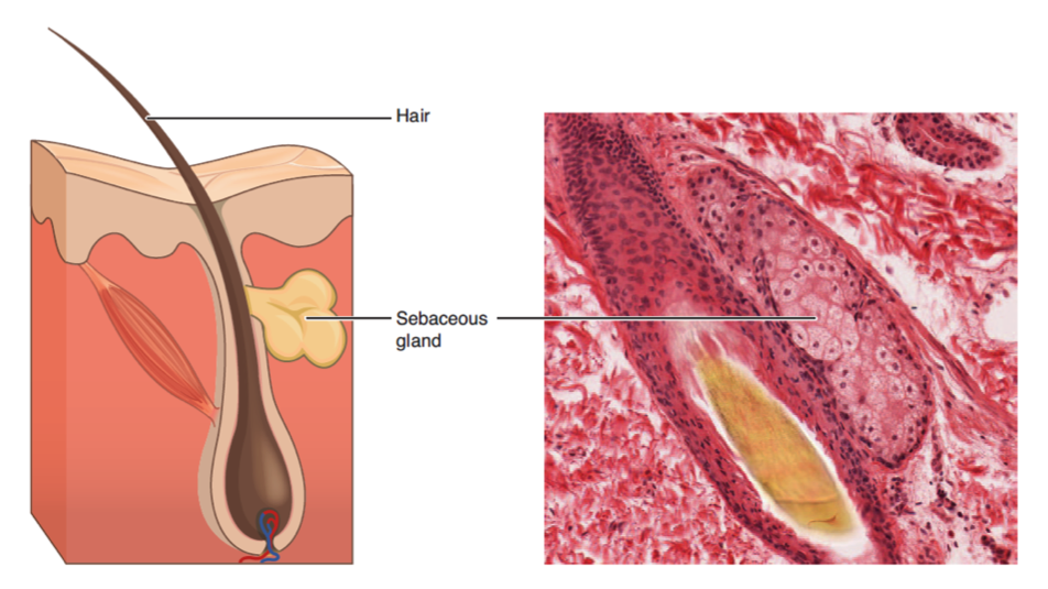 sebaceous gland is an example of
