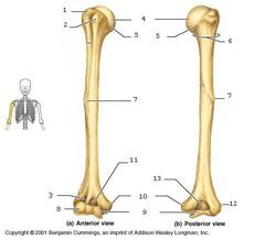 the humerus is an example of a bone