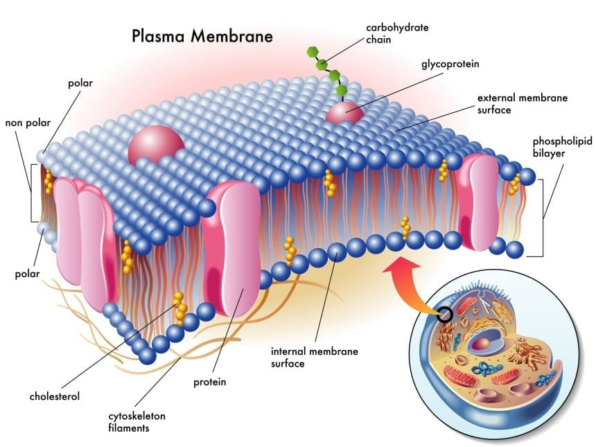 example of semi permeable membrane in your body